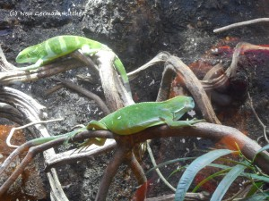 Klimahaus-samoa-gecko